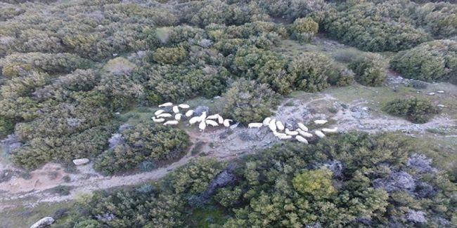 EREĞLİ'DE KAYBOLAN KOYUNLAR DRONE İLE BULUNDU