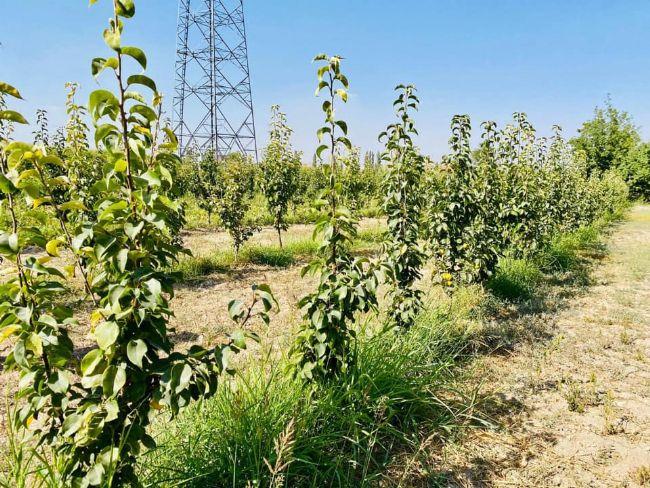 Ereğli çiftçisinin umudu: Japon Armudu
