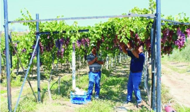 Ereğli'de üzüm hasadı başladı