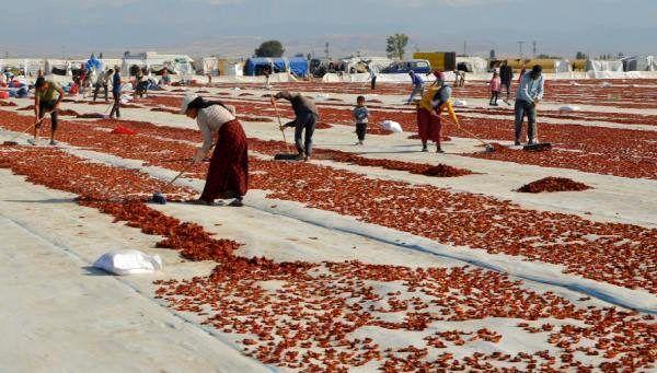 Ereğli'den 41 milyon liralık domates kurusu ihracatı
