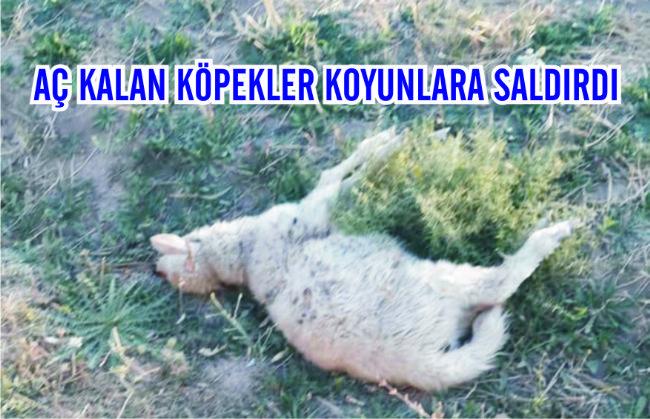 Ereğli'de başıboş köpekler koyunları telef etti...