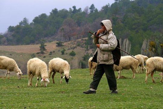 Afganlı çobanlar üreticinin imdadına yetişti