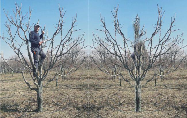 Ereğli'de meyve ağaçları budanıyor